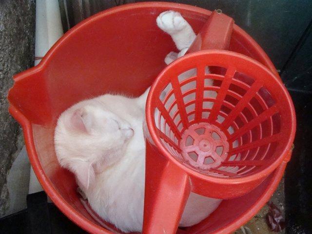 pisica galeata