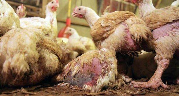 boli articulare la păsări
